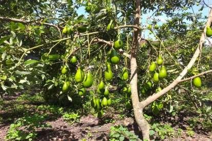 Buah Alpukat tumbuh Subur di wilayah tropis Sidrap